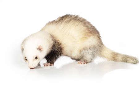 gronostaj: Adult ferret on white background posing for portrait in studio Zdjęcie Seryjne