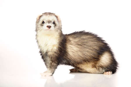 gronostaj: Nice ferret on white background posing for portrait in studio