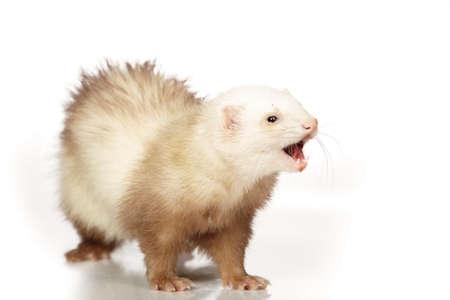 gronostaj: Champagne ferret on white background posing for portrait in studio