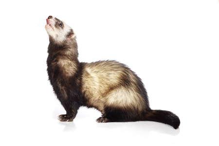 gronostaj: Pretty ferret on white background posing for portrait in studio
