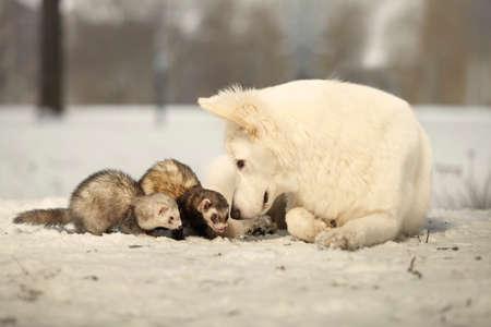 Swiss white shepherd guarding ferrets enjoying winter time in park Stock Photo