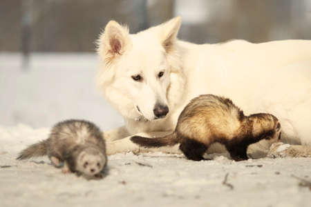 shepperd: Swiss white shepherd guarding ferrets enjoying winter time in park Stock Photo
