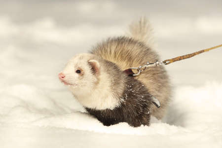 Ferret on leash posing and enjoying winter time in park