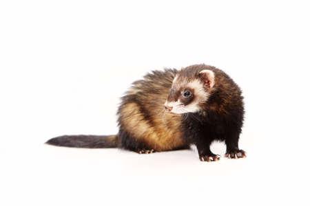 gronostaj: Standard ferret on white background posing for portrait in studio