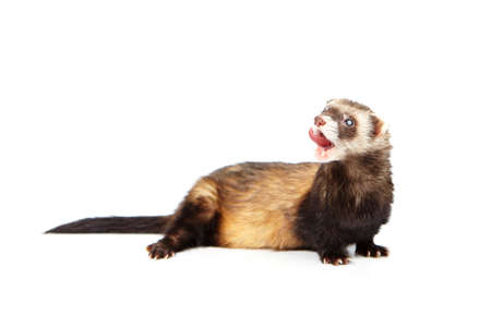 Pretty blind ferret on white background posing for portrait in studio