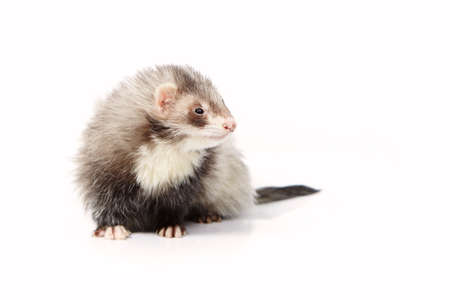 gronostaj: Nice angora ferret on white background posing for portrait in studio
