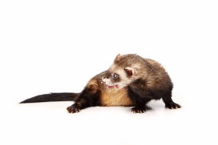 gronostaj: Pretty blind ferret on white background posing for portrait in studio