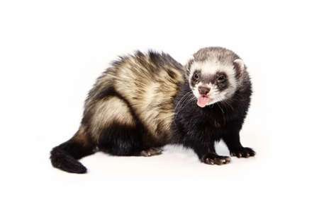 Nice standard ferret on white background posing for portrait in studio