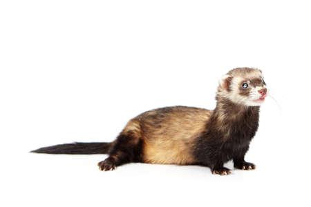 Fluffy blind ferret on white background posing for portrait in studio