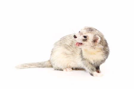 gronostaj: Dark eyed white ferret on white background posing for portrait in studio