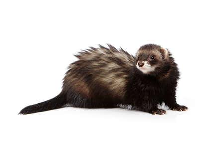 Dark ferret on white background posing for portrait in studio Stock Photo