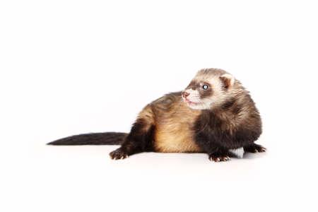 gronostaj: Lovely blind ferret on white background posing for portrait in studio Zdjęcie Seryjne