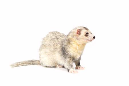 gronostaj: Silver ferret on white background posing for portrait in studio