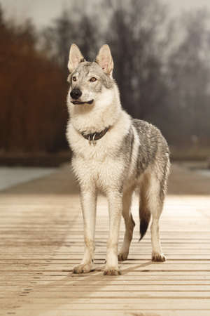 Staying eight months old wolfdog male puppy on pier in winter park Stock Photo