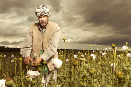 Illegal farmer harvesting raw opium on large poppy field