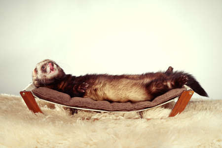 Ferret portrait in studio on little sofa Stock Photo