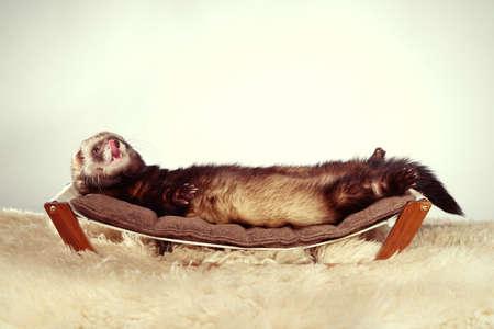 Ferret portrait in studio on little sofa Foto de archivo