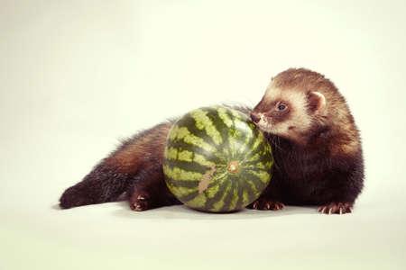 Ferret portrait in studio with watermelon Stock Photo