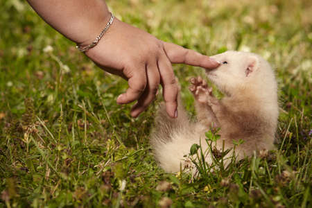 Ferret baby in summer grass enjoying their walk and game in park