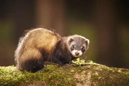 Ferret posing on moss deep in summer forest Foto de archivo
