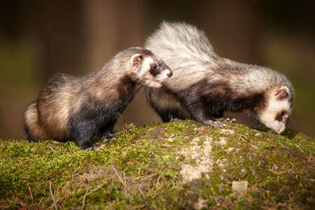 Ferret couple posing on moss deep in summer forest