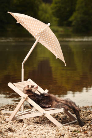 Ferret on beach enjoying relaxation on beach chair with umbrella Stock Photo