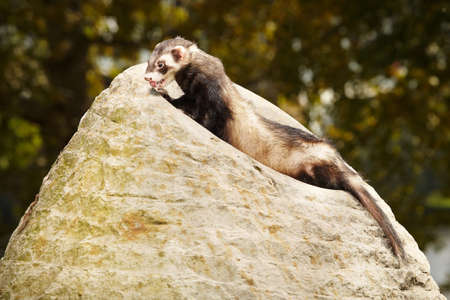 Ferret posing and relaxing on stone rock