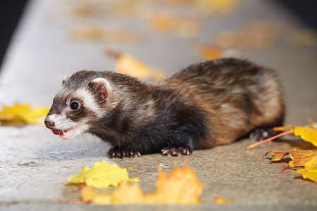Standard color ferret laying on stone fence in autumn park