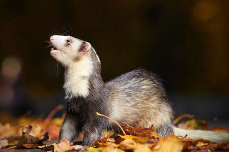 Other pattern ferret female in autumn park on leaves Stock Photo