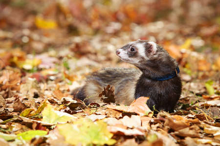 Standard color ferret posing in autumn park on leaves