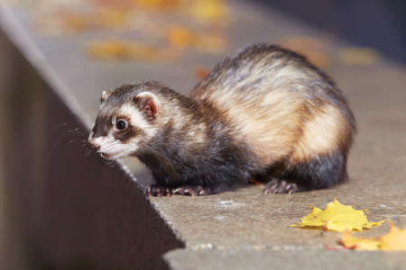 Standard color ferret posing and enjoying their game in autumn park Stock Photo