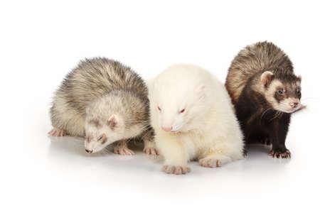 Ferret group on white background posing for portrait in studio