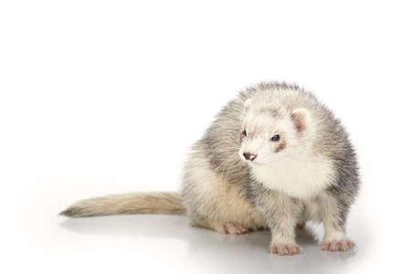 Silver ferret on white background posing for portrait in studio