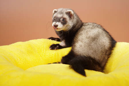 Ferret after infusion therapy - portrait in studio Stock Photo