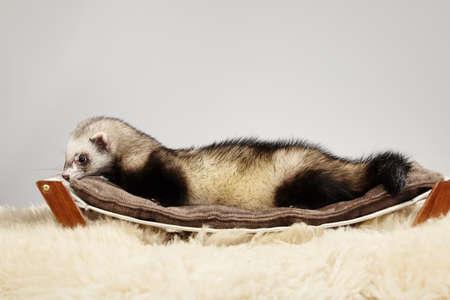 Pet friend Ferret portrait in studio Stock Photo