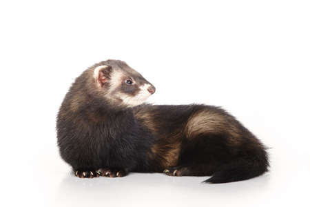 Standard color ferret on white background posing for portrait in studio Archivio Fotografico