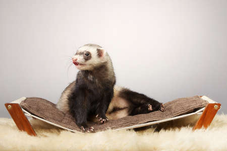 Ferret young male portrait in studio on little sofa