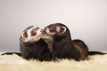 Pretty ferret couple portrait in studio Foto de archivo