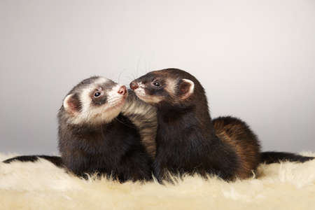 Pretty ferret couple portrait in studio Archivio Fotografico