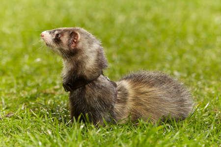 Nice dark ferret on fresh green grass in spring park