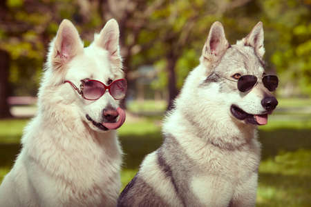 Couple of gray wolfdog and swiss white shepheard with sunglasses in spring park