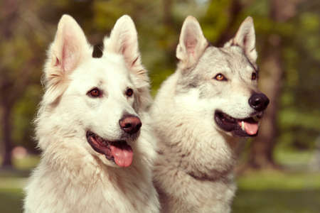 Couple of gray wolfdog and swiss white shepheard looking in spring park