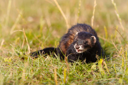 Dark sable ferret on summer meadow enjoying her game