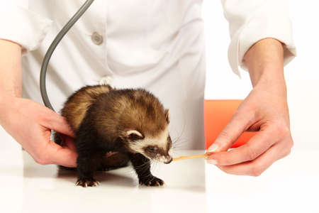 Veterinarian doctor working with young female ferret