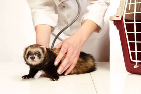 Veterinarian doctor working with young female ferret Stockfoto
