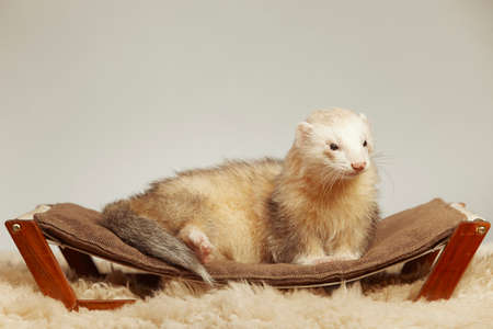 Pet and friend - Ferret portrait in studio