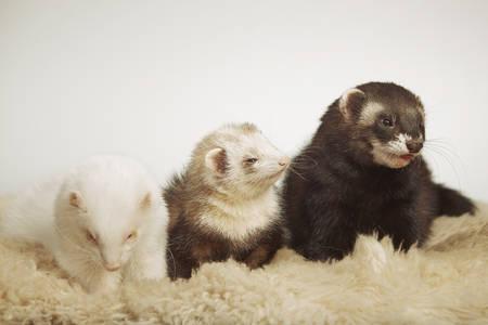 Group of ferret friends posing for portrait in studio Reklamní fotografie