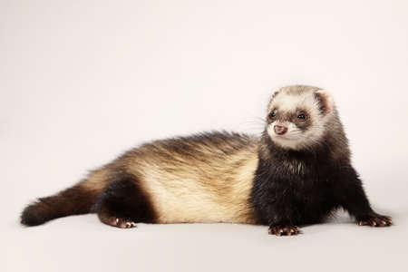 Standard color ferret female posing in studio Stockfoto