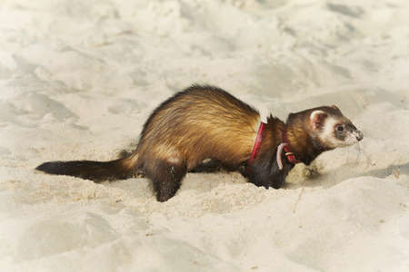 Dark sable ferret portrait in beach sand Banco de Imagens - 124707943