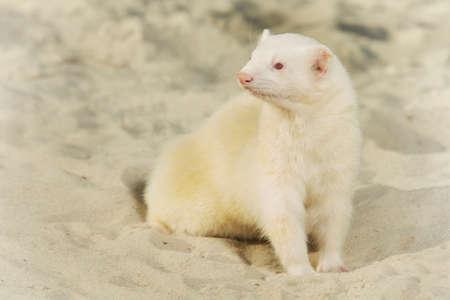 Ferret albino portrait of summer style on beach sand Banco de Imagens - 124707950